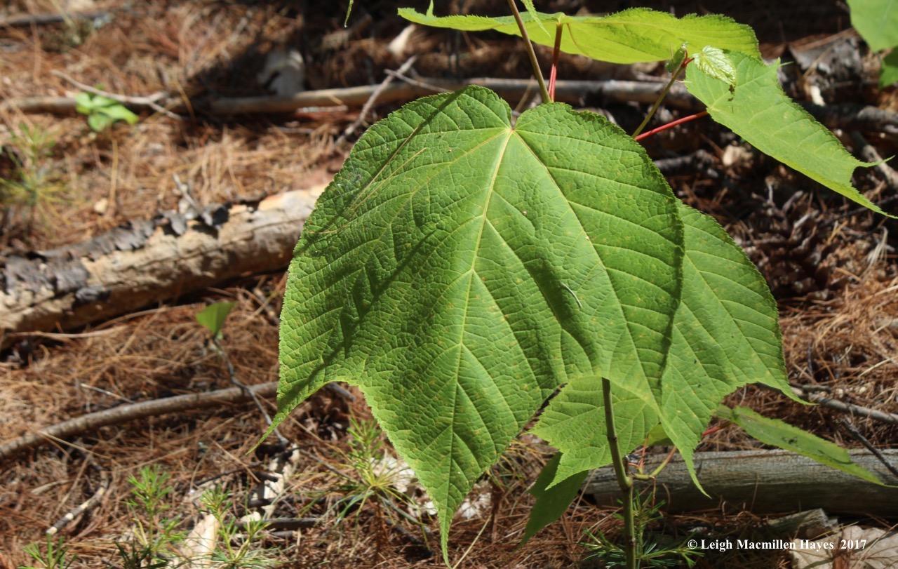 l-striped-maple-leaf.jpg