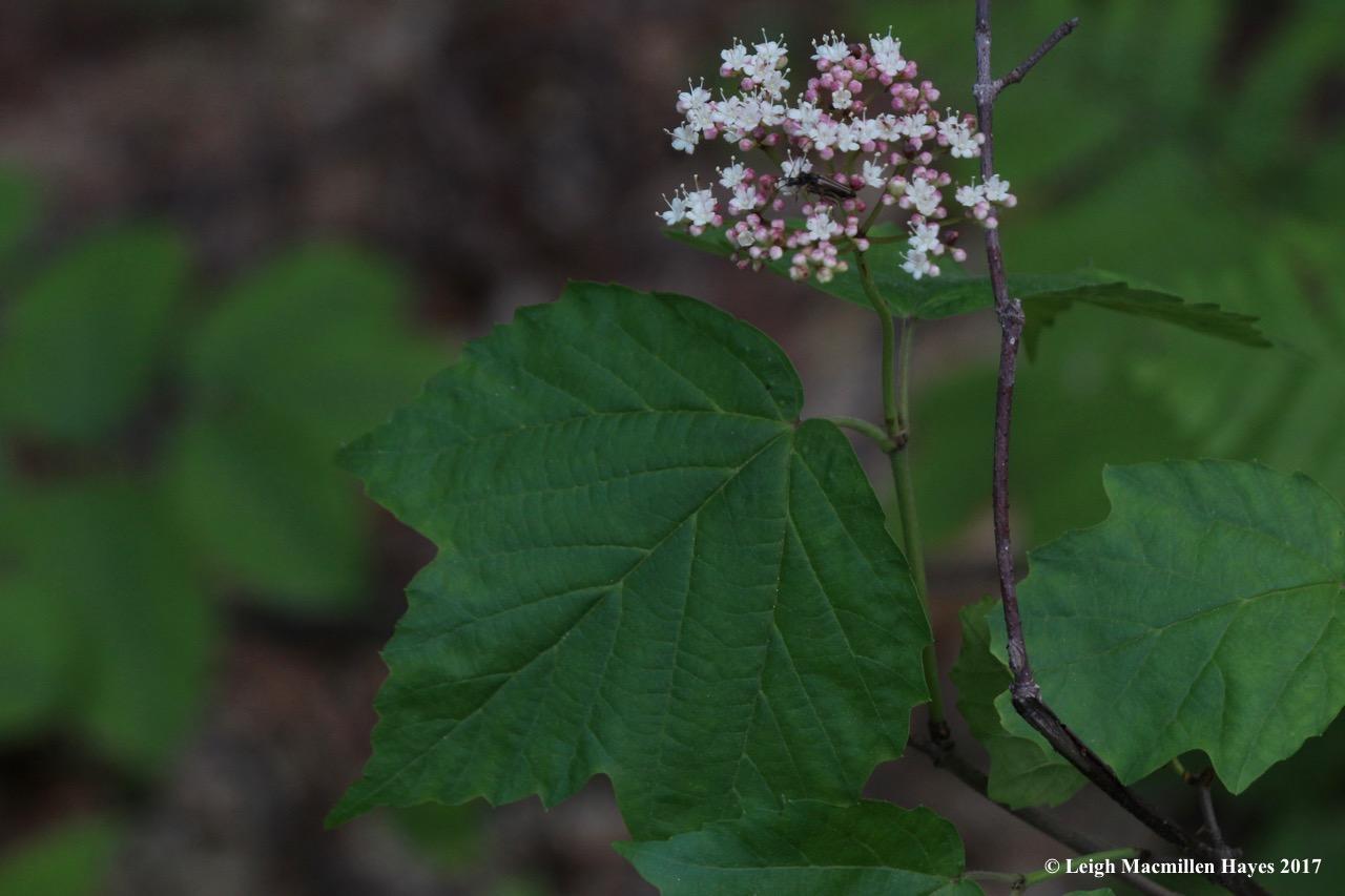 l-maple-leaved-viburnum.jpg