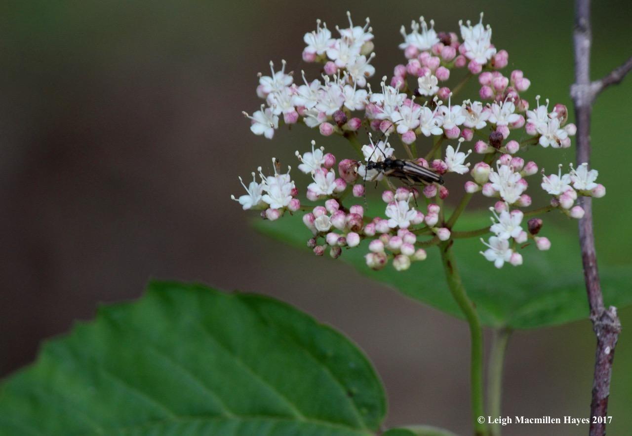 l-beetles-canoodling-on-maple-leaved-viburnum-2.jpg