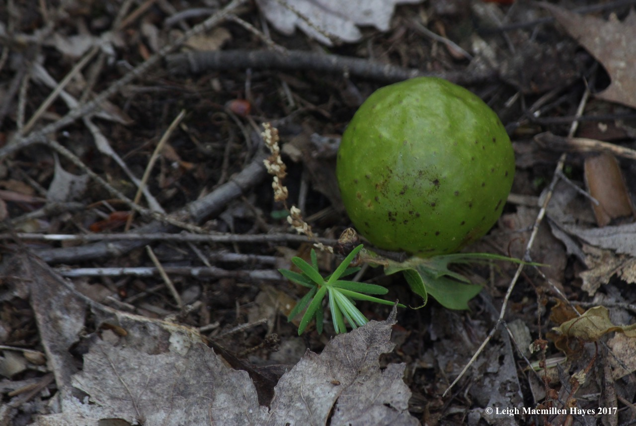 l-oak-apple-gall.jpg