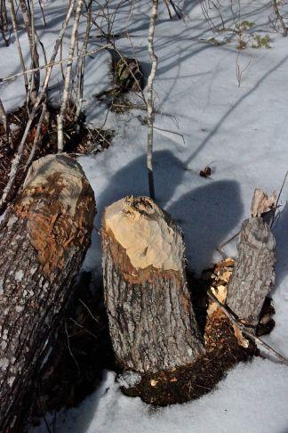 sb-beaver-old-and-new.jpg