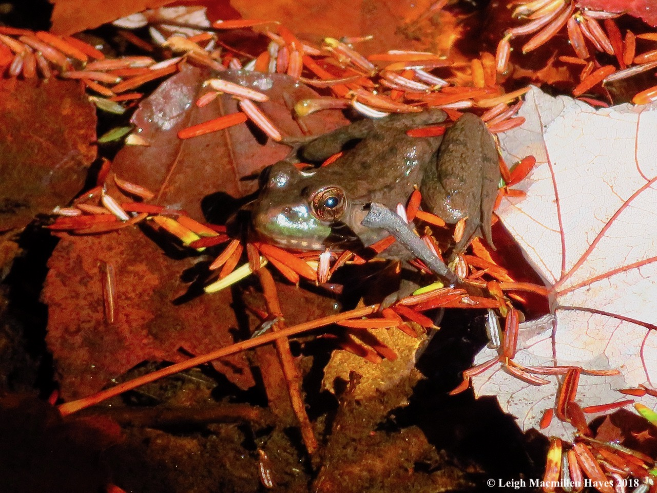 11-green-frogin-sucker-brook.jpg