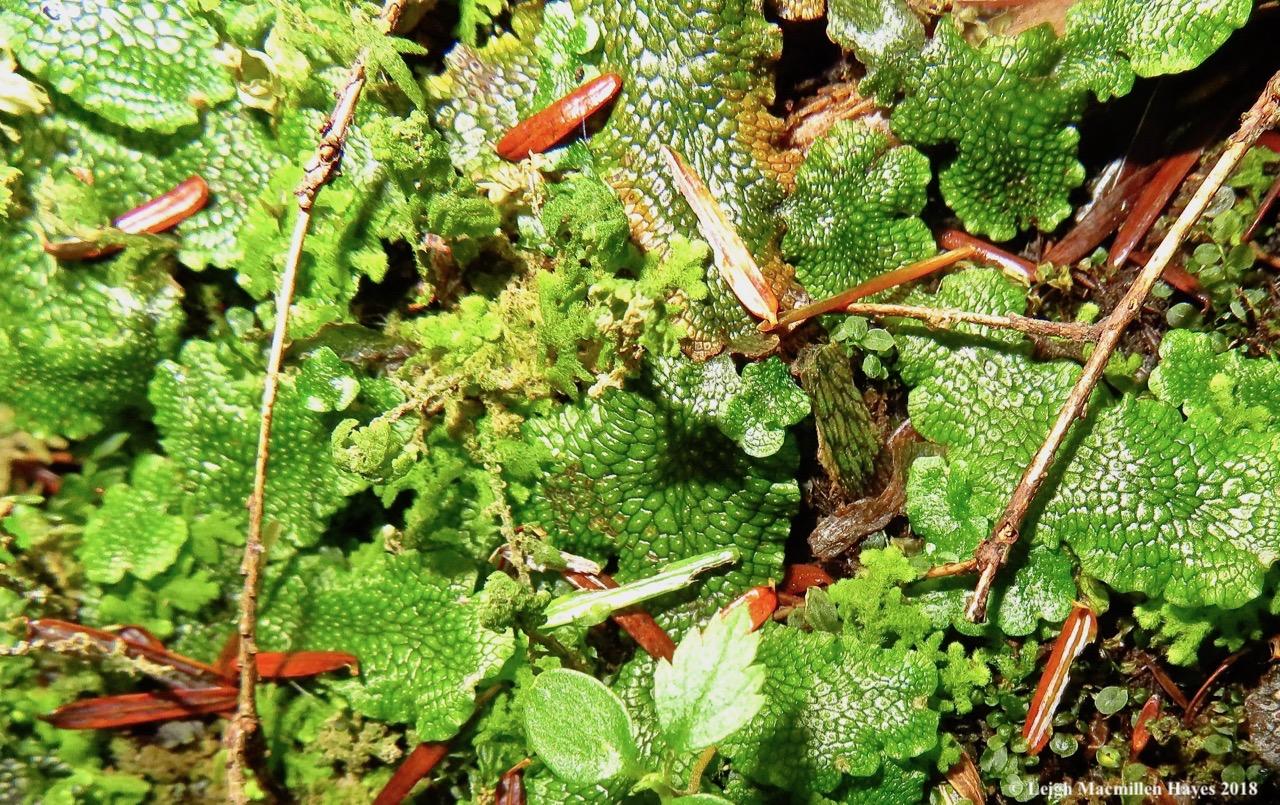 12-conocephalum-salebrosum.jpg