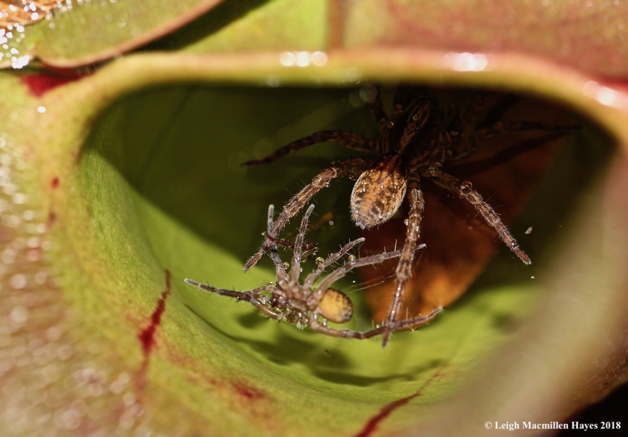 A live and dead spider within a pitcher plant leaf