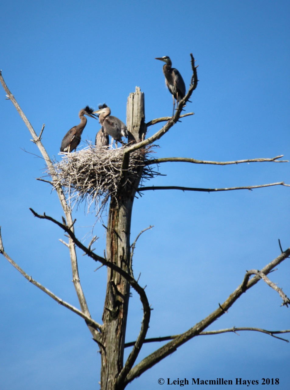 Great Blue Heron youngsters waiting for a meal