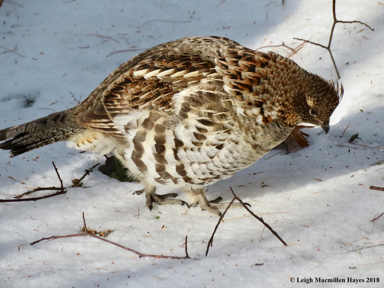 ArGee as last seen a few weeks ago. A ruffed grouse startled me in the same area yesterday. Was it him? Or another? I'm not sure, but I am grateful that it behaved as a ruffed grouse should by flying off