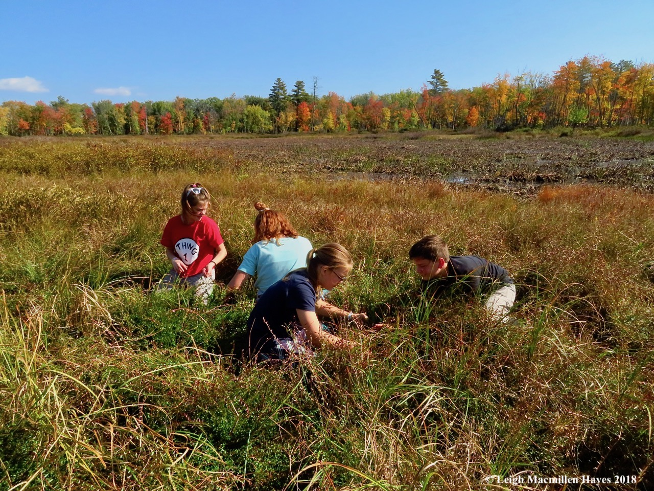 Middle school students from Molly Ockett's MESA program picking cranberries in the GLLT fen