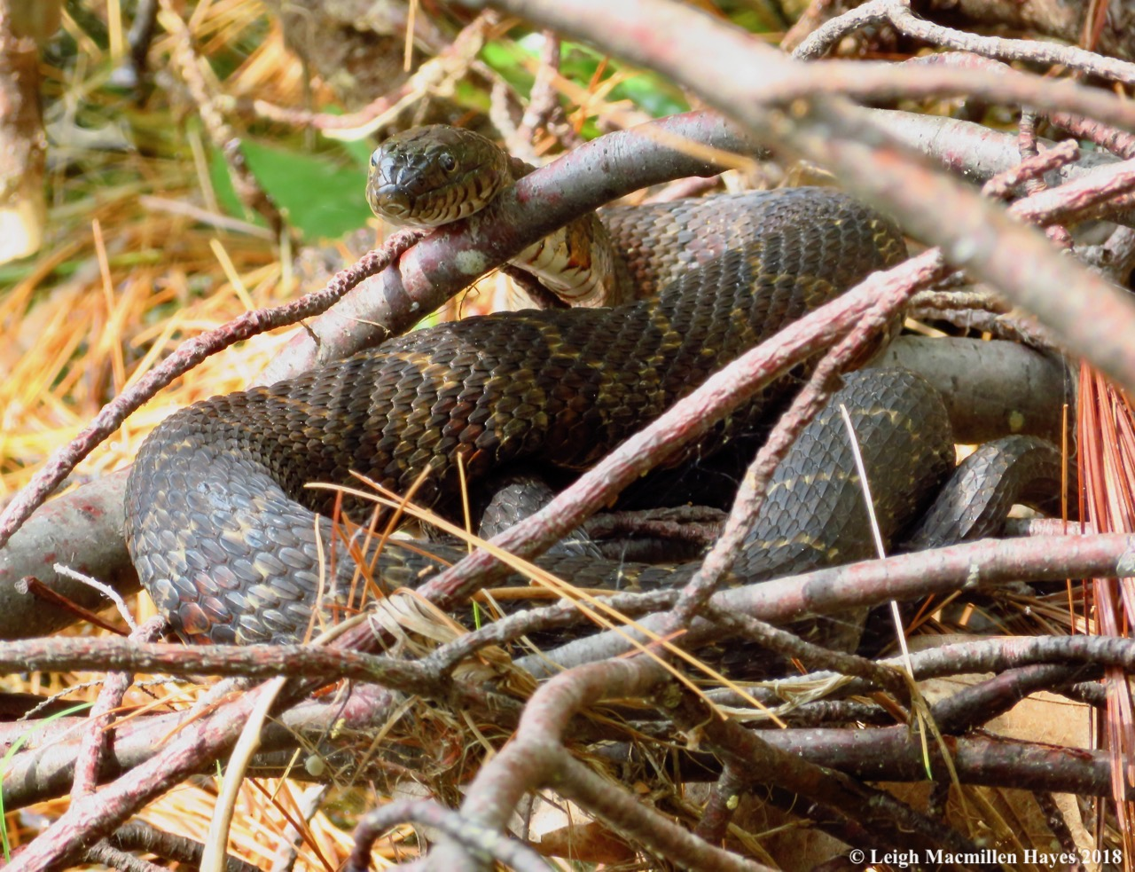 Water snake at the GLLT Otter Rock