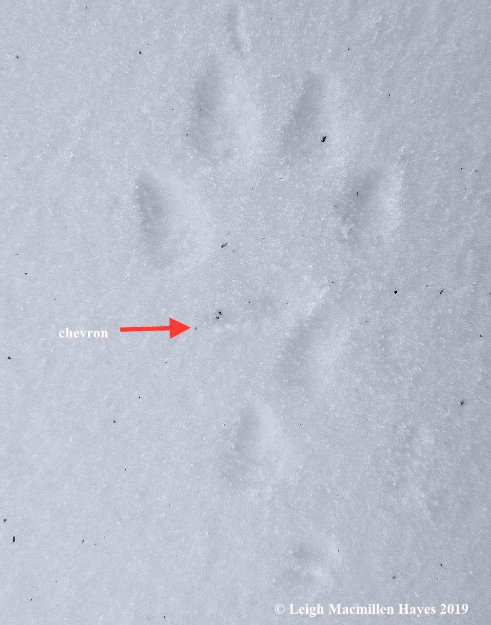 7-red-fox-chevron.jpg