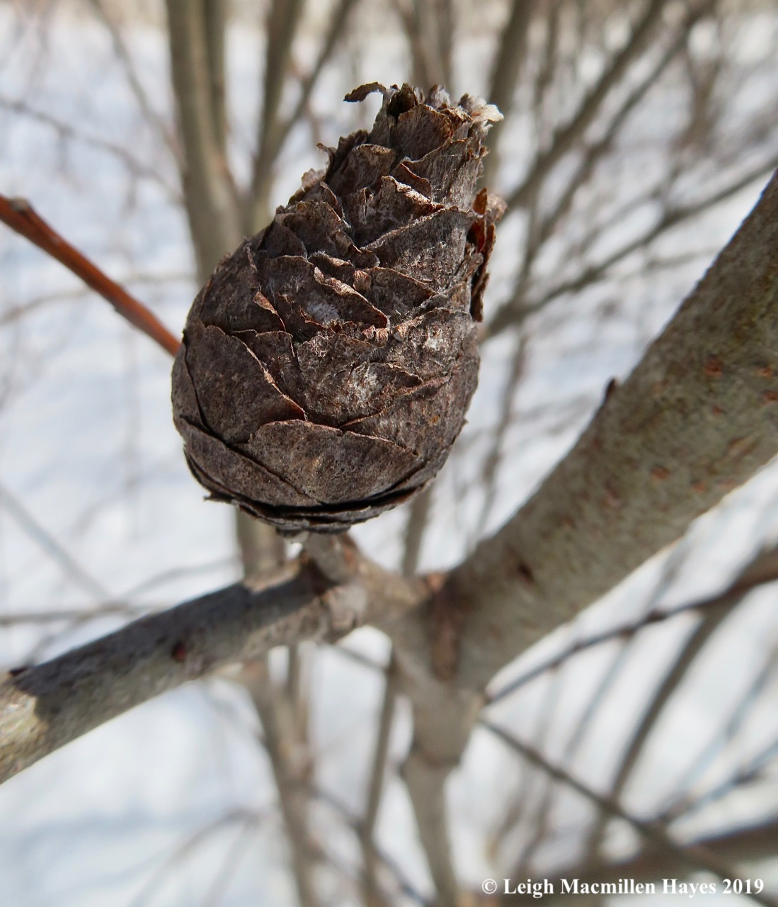 2-willow-gall.jpg