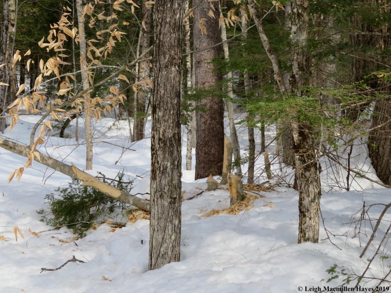 12-more-beaver-works-upstream.jpg