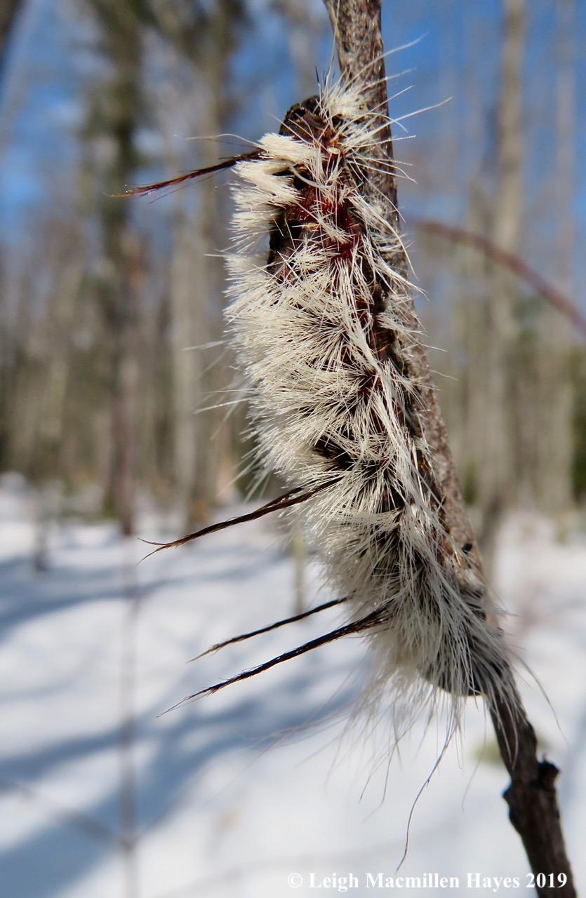 24-hickory-tussock-caterpillar.jpg