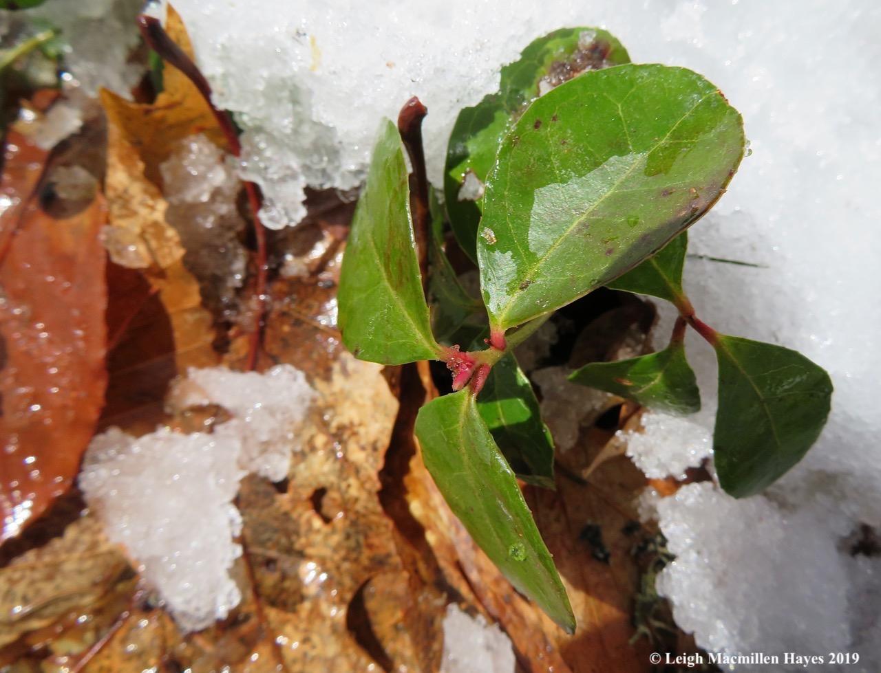 16-wintergreen-with-buds.jpg
