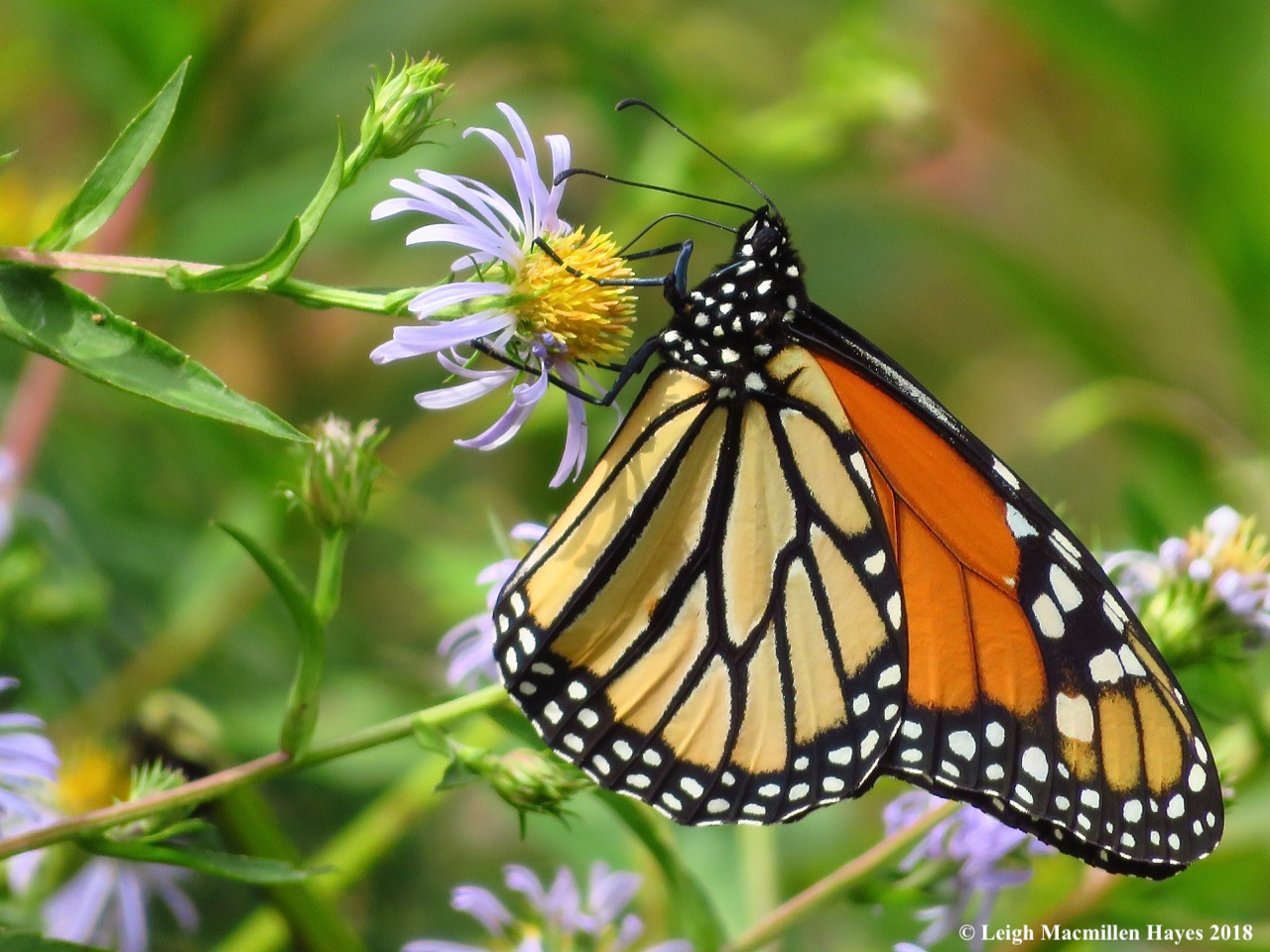 Walks and Talks monarch.jpg