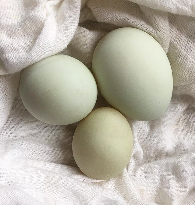 Our Cayuga has started laying the prettiest pastel blue/green eggs. Almost too pretty to eat. Almost.