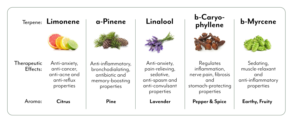 A table of the 5 most common terpenes found in cannabis and their therapeutic effects. No terpene is exclusive to cannabis, they are found all throughout the plant world. They function in many cases as a defense mechanism or immune system for a given species.