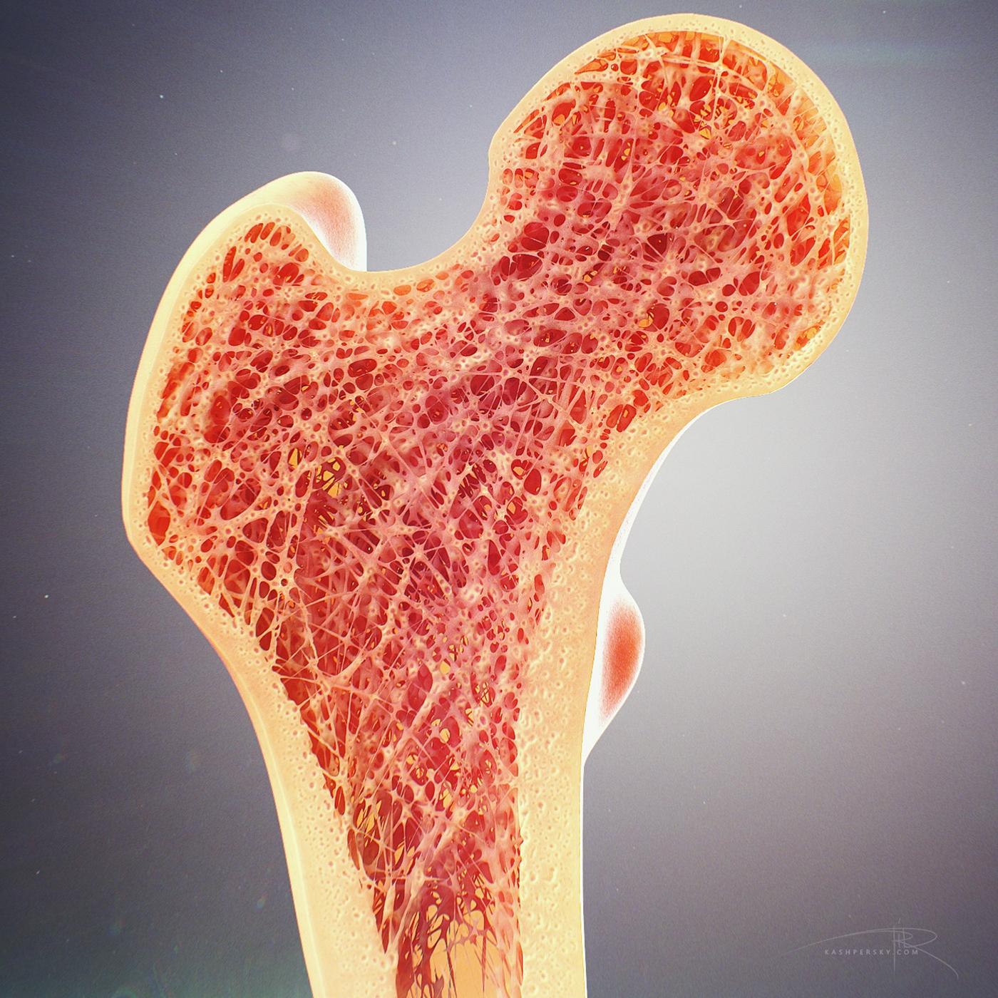 bone-cross-section.jpg