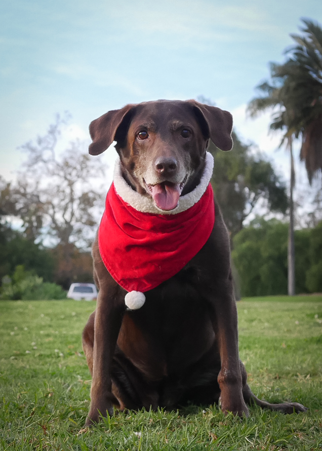 "Miss Pupaya - Everyone's favorite photo assistant is Miss Mya ""Pup"" Pya who moves around pretty well for a 13 year old pooch. She is always ready for a ride in the car, walk to the park on the corner, and for meeting new clients."