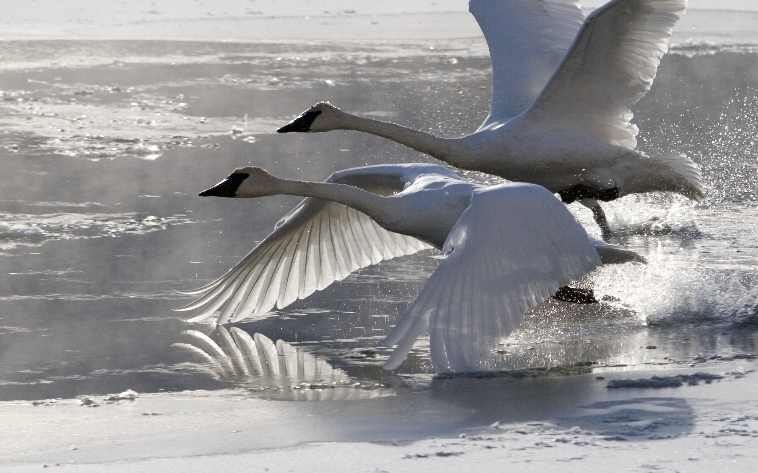 Swans Take Flight