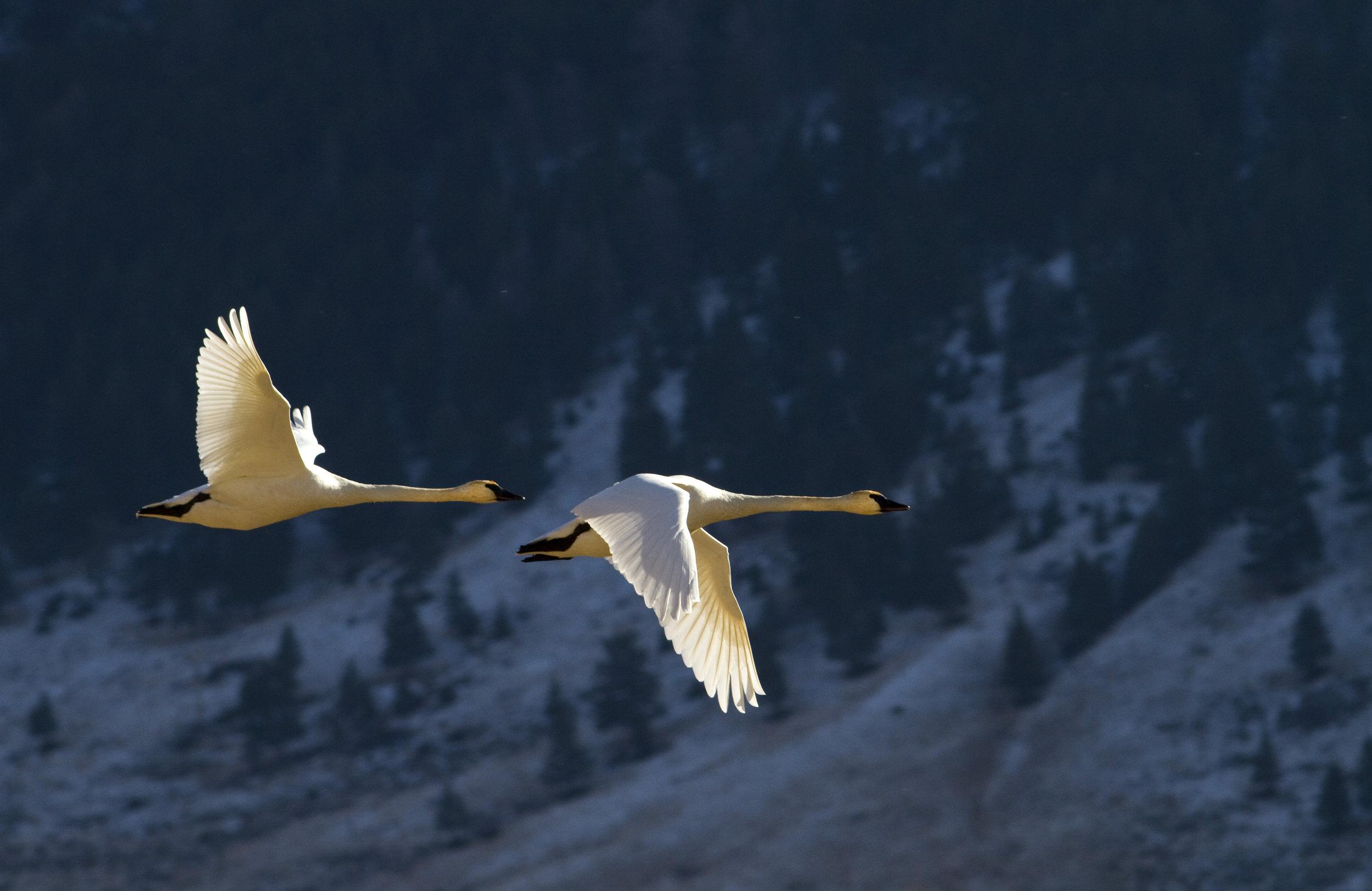 Swan Efficient Flying