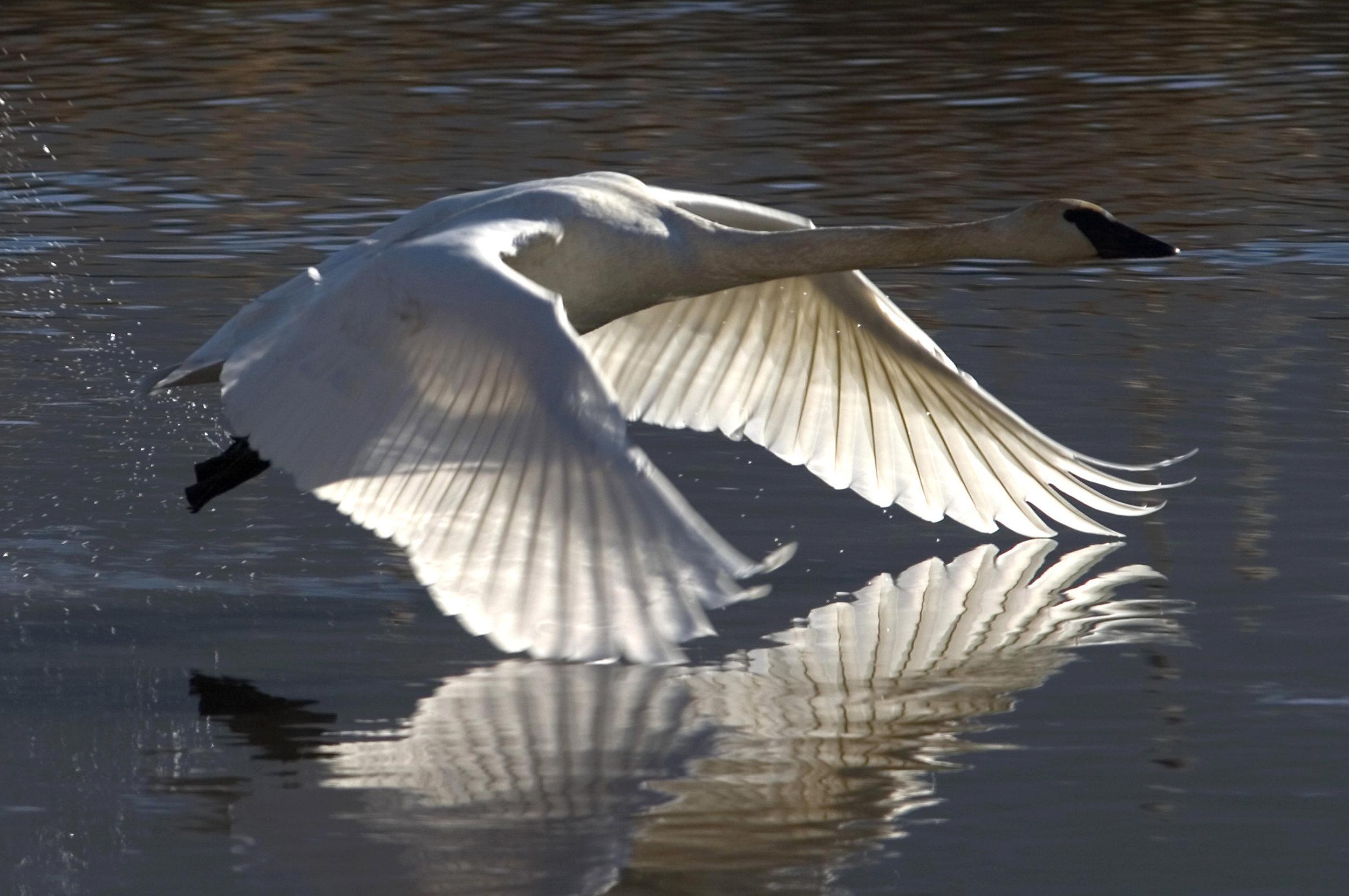 Swan Working for Flight