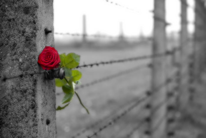 Rose on fence.png