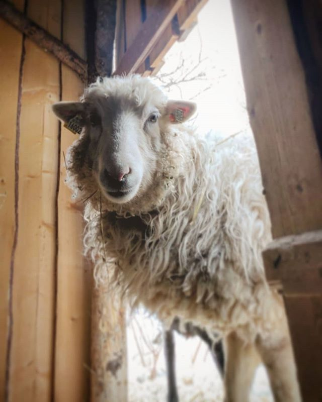 Edelweiss waiting to give birth to hopefully healthy lambs. We got a new vlog episode up on the YouTube, link in our bios →@tovachr @javrri
