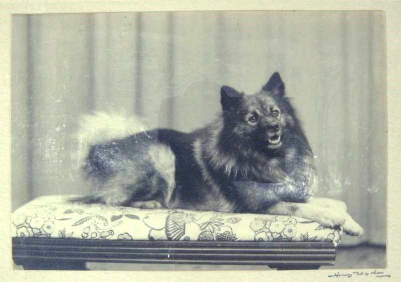 Czigane, one of 33 sledge dogs that went on Captain Scott's expedition to the South Pole. © Royal Albert Memorial Museum & Art Gallery, Exeter City Council