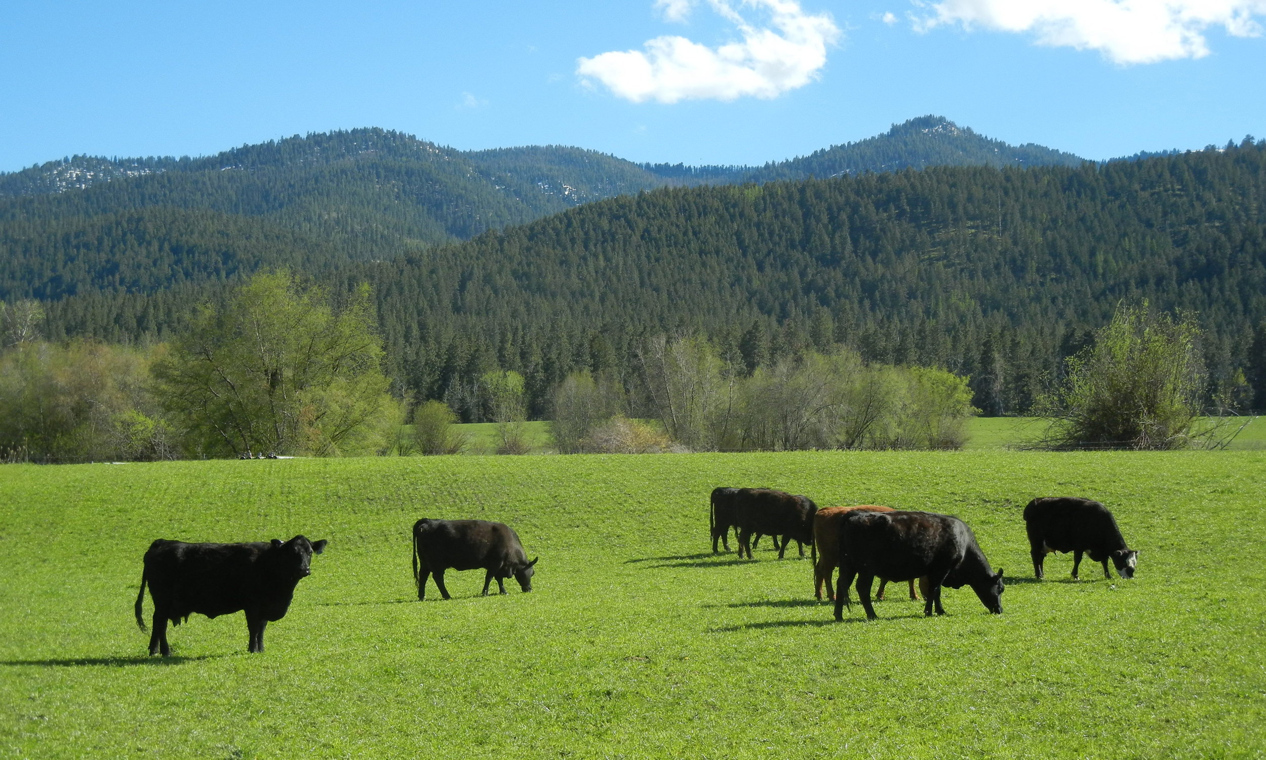 Four Pines Ranch Grassfed Beef - Pasture born * Pasture raised * Pasture Finished