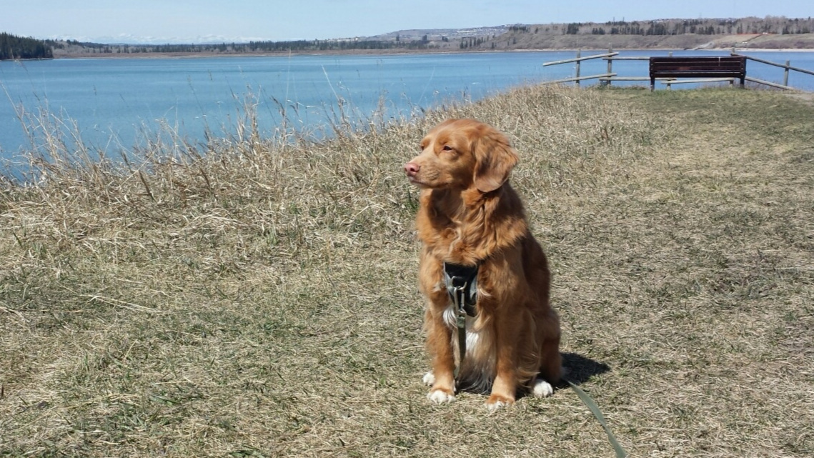 Stella - walking client - We started working with Donna at Polite Pups in the fall of 2018 and have since happily recommended her to friends and colleagues.Donna is an exceptional dog walker because she doesn't just take our Duck Toller, Stella, for a walk. As an experienced dog trainer, Donna knows how important it is to exercise a dog's mind as much as their body. She plans a variety of mind puzzles and challenges for Stella that she incorporates into the walks and also knows how to properly address any unwanted behaviours while out and about.I have worked with other dog walking firms in Calgary and I never knew who would show up at the door to walk Stella. I would simply get a note saying who had been there that day. There was also no connection built between Stella and the previous walkers nor did I have confidence in who had access to our home.Donna has created a trusting bond with Stella who greats Donna at the door like one of the family (not a typical Toller trait)!Truth be told, I'm a bit of an over-the-top dog mom and it gives me such peace of mind knowing Stella is with Donna. Donna has an INCREDIBLE work ethic, and is extremely professional and knowledgeable. Her love for dogs and passion for helping people have the best relationship possible with their canine companions is ever present.The best bit for me? I travel a lot with work and Donna always sends me a report of what she and Stella did on their walk as well as a few pictures....as an OTT dog mom, it's the best part of my day!Kristine