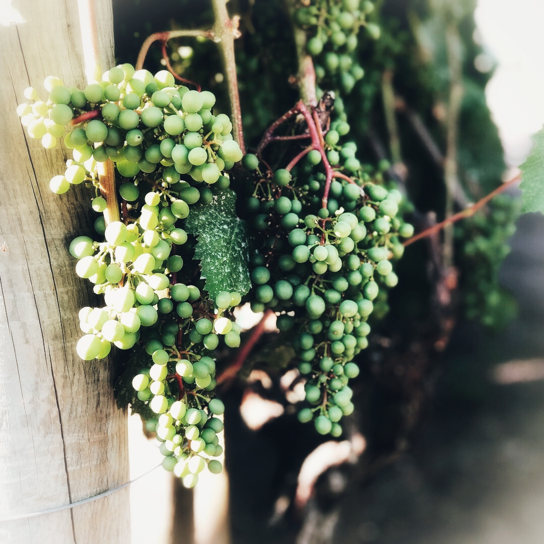 Pinot Noir Grapes Spring 2018
