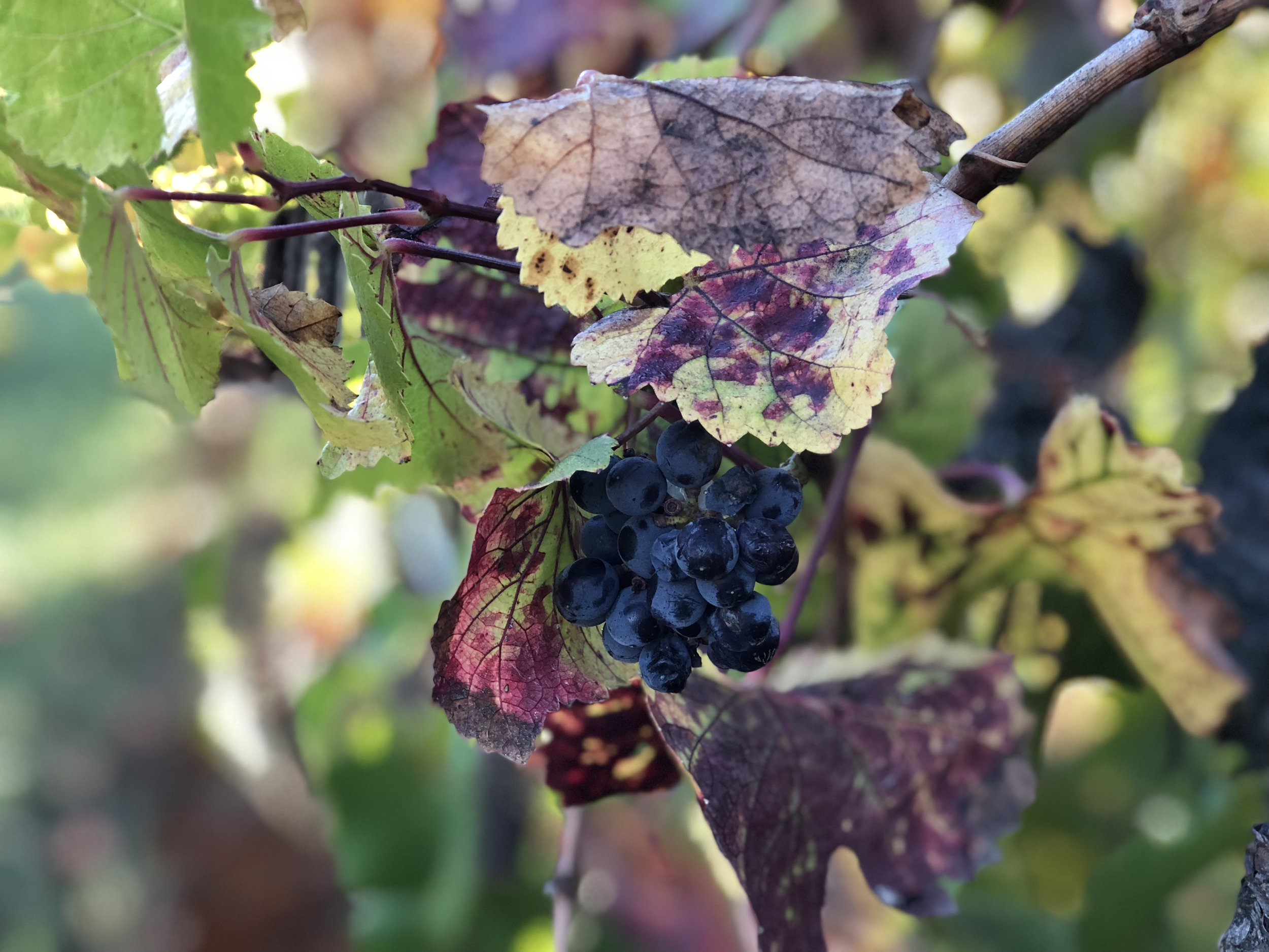 Pinot Noir Grapes Fall 2018