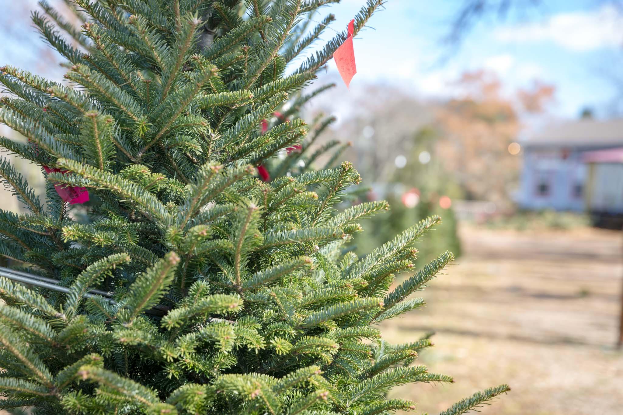 Inspired Southerner_Pine Hill Christmas Tree Farm_160.jpg