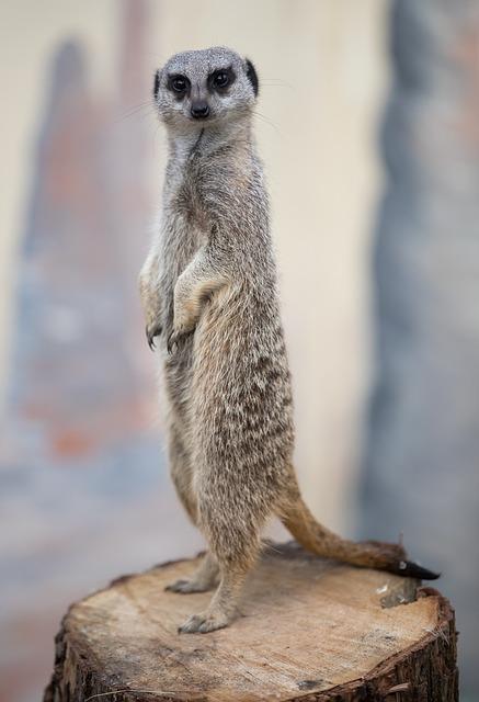 meerkat-1591315_640.jpg