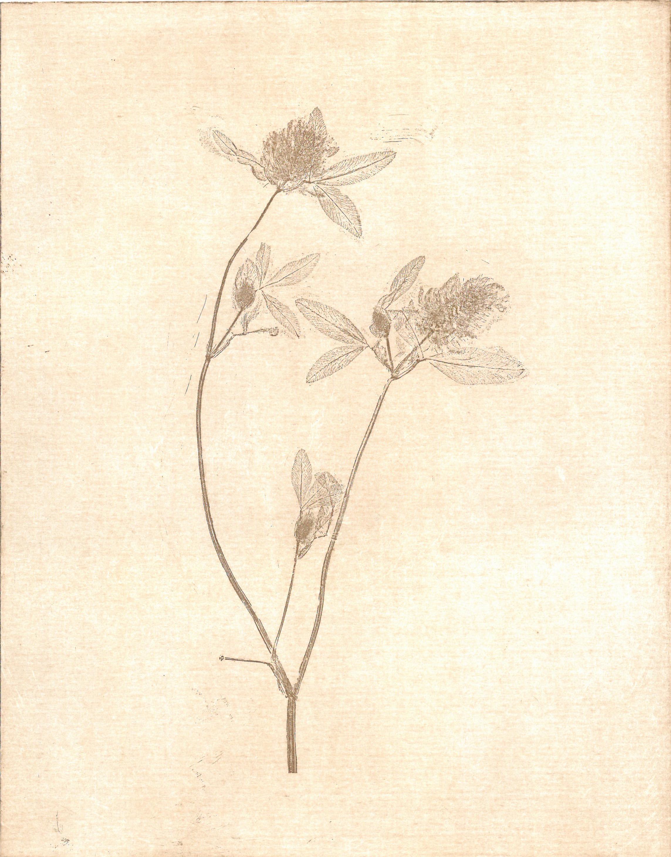 - Trifolium pratense Bee breadBroad-leaved cloverClover grassCommon cloverCow grassMarl grassPinkiesPurple cloverPurplewortRed cloverSucklesSugar plum