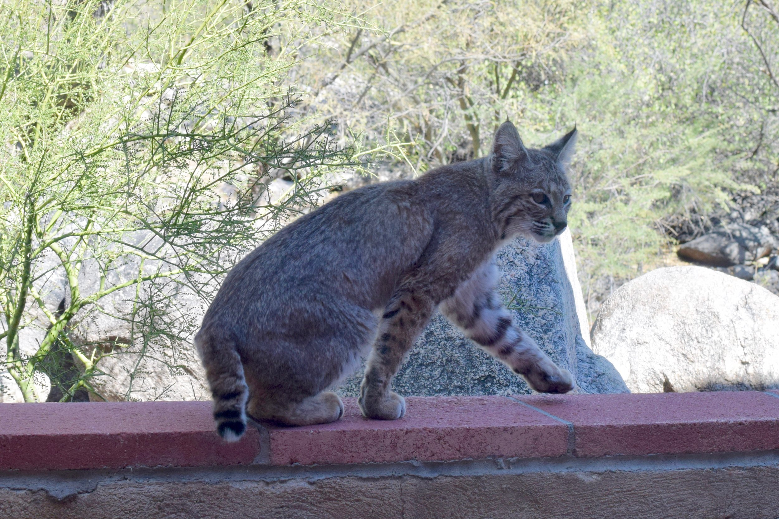 Bobcat 1.jpg