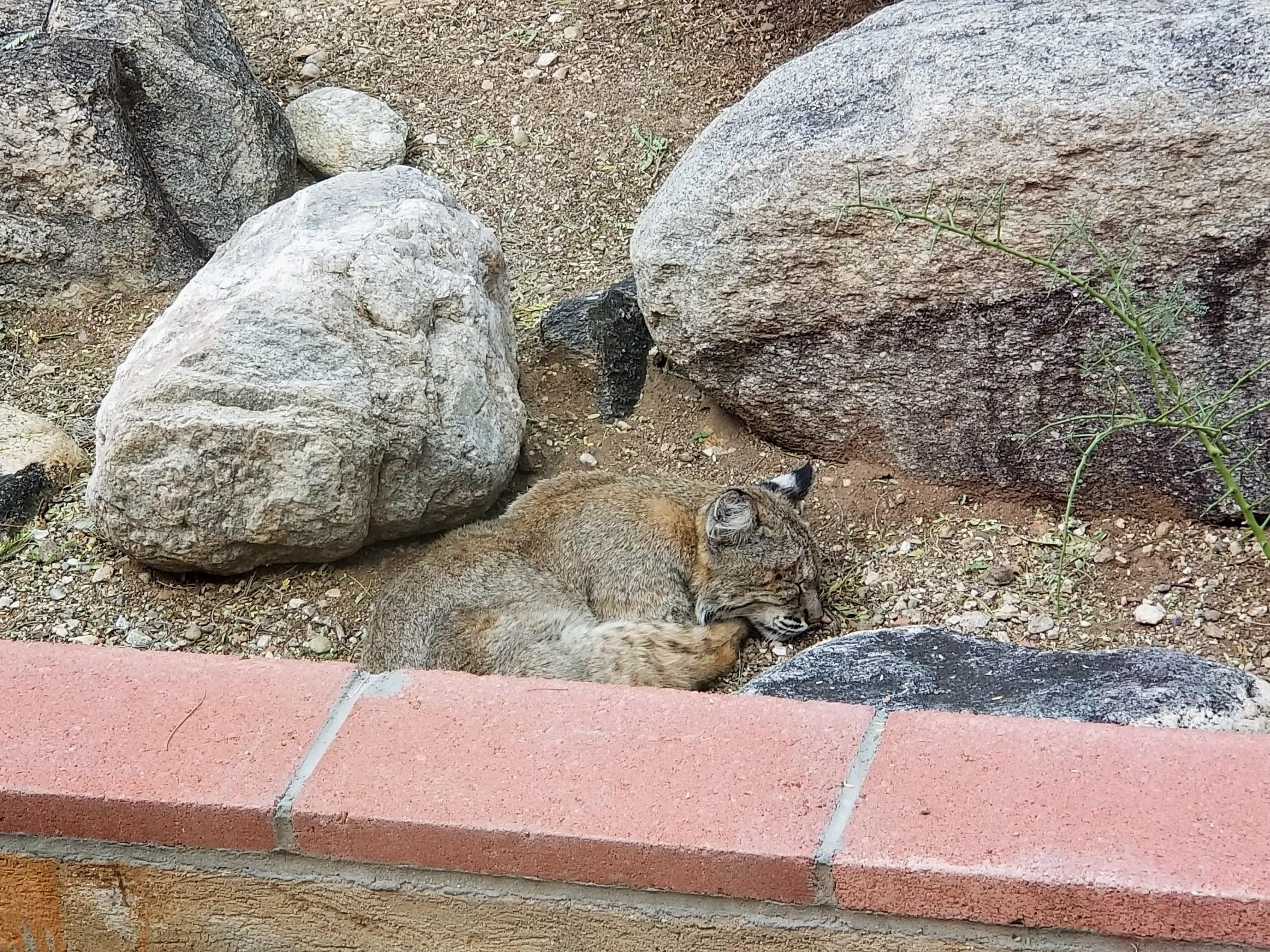 Sleepy Bobcat 2.jpg
