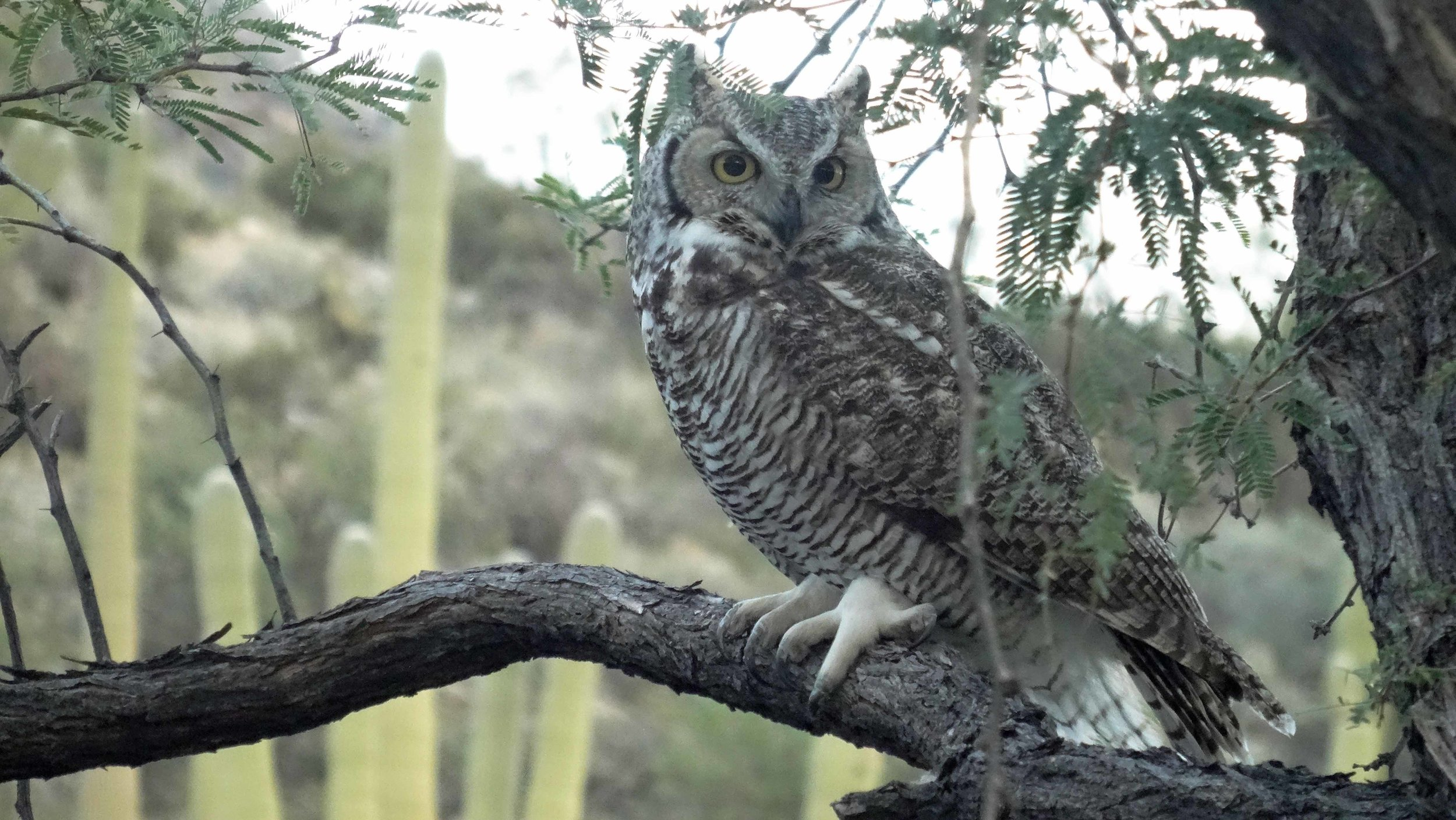 Great Horned Owl on Tree in Back Yard.jpg