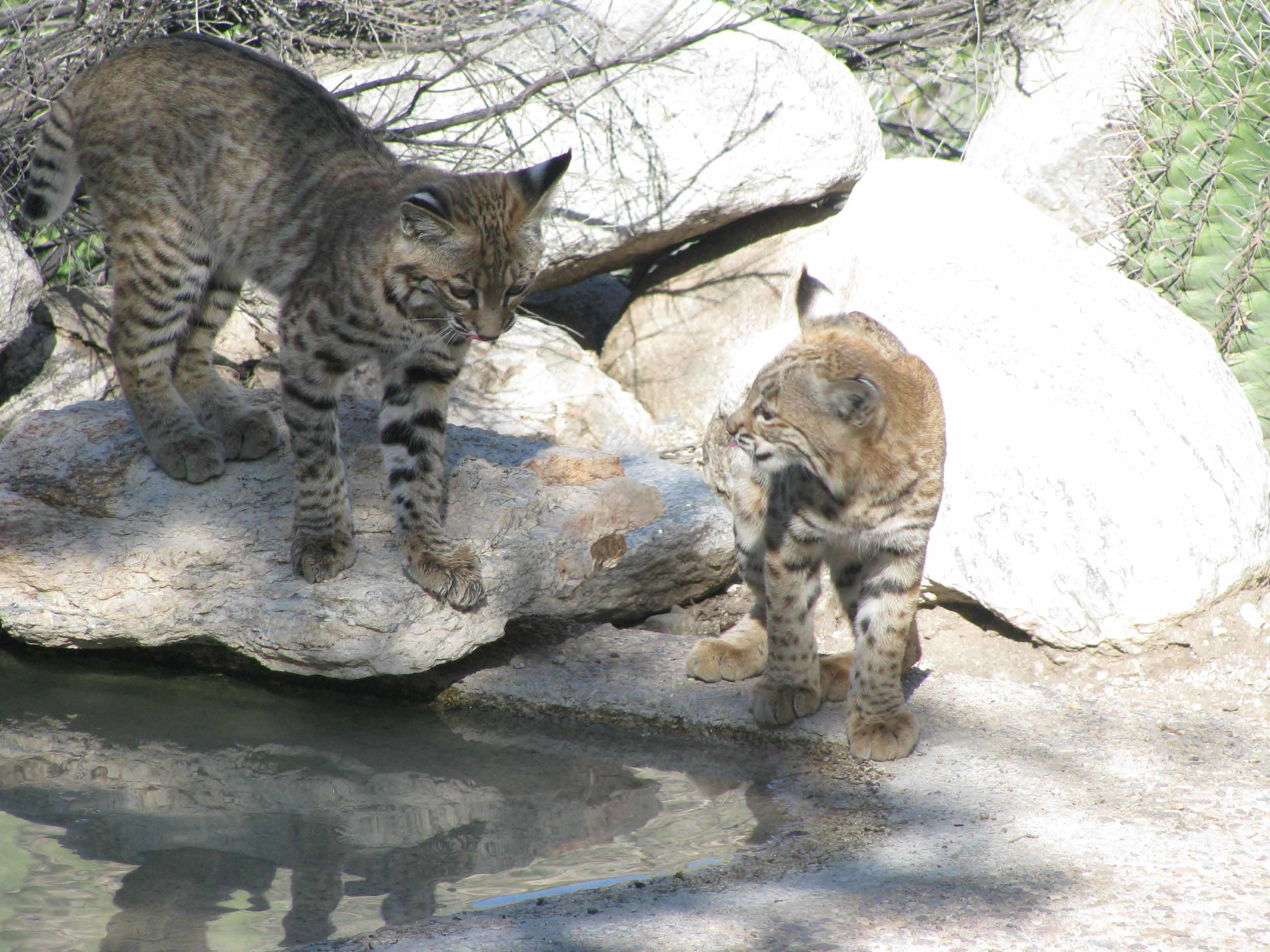 Mother and Baby Bobcat at Pond in Back of House.jpg