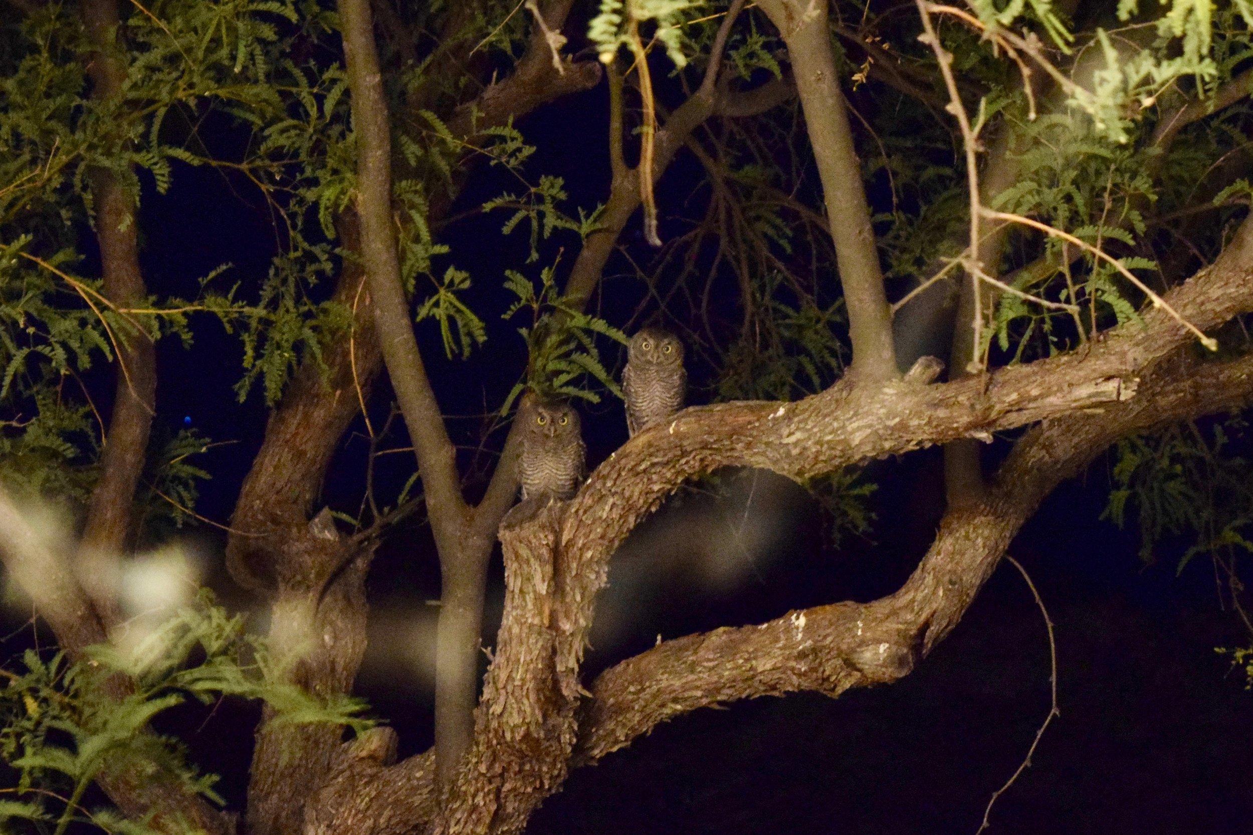 Baby Owls 1.jpg
