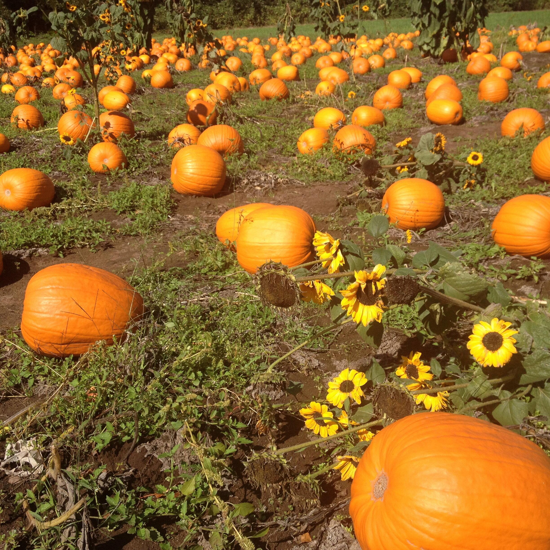 pumpkin-patch-2019.jpg