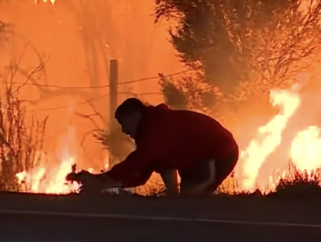 A man scoops up a wild rabbit alongside Highway 101 in Southern California, in an effort to save it from the Thomas Fire burning in the background.