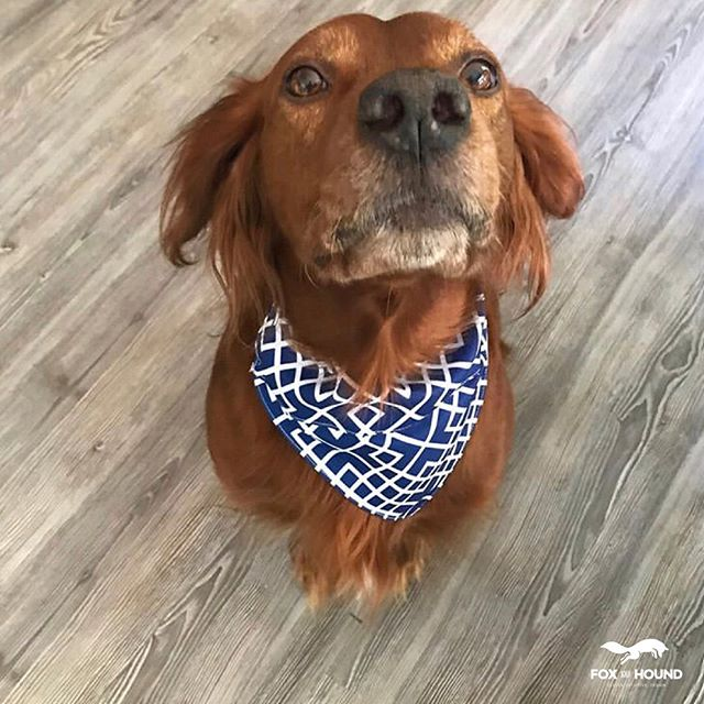 Hi guys! My name is Copper, you might have seen me before in our Instagram Stories, I'm part of the Fox and Hound family. My life goals include chasing squirrels until they're afraid to appear in our yard, destroy every bug known to man, going for rides in the car, letting off SBD's while in said car, I eat a lot and I love my mum and dad a lot. . Mum just brought me this new blue shirt and I'm really proud. 🐾 . 😂 . . . . . . #cartersville #acworth #cantonga #woodstockga #dogstagram #create #socialmediamanager #atlanta #atl #southernliving #southernmoms #georgia #ceo #coo #newbiz #smallbiz #branding #smallbusinessbranding #acworth #alpharetta #dallasga #atlanta #atl #socialmediamanagerlife
