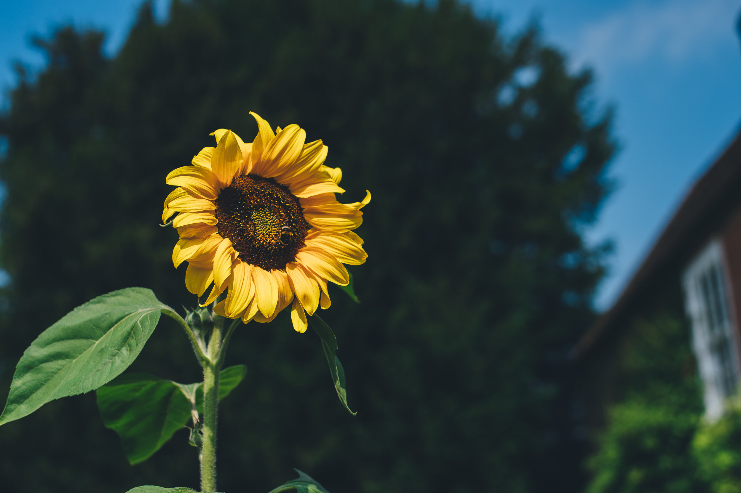 Sunflowers available! -