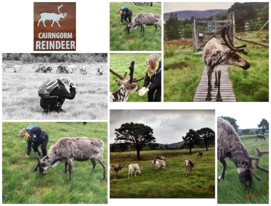 Visiting the Cairngorm Reindeer herd