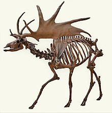 Irish Elk