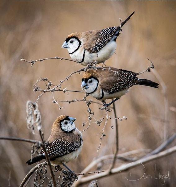 Double-Barred Finch  Photo Credit:   @myshotsofbirds