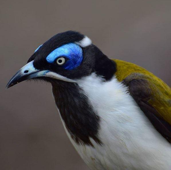 Blue-faced Honeyeater  Photo Credit:   @wildbarbalberto