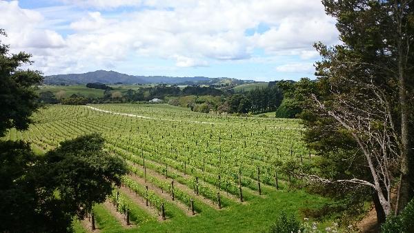 Matakana estate vineyard.jpg