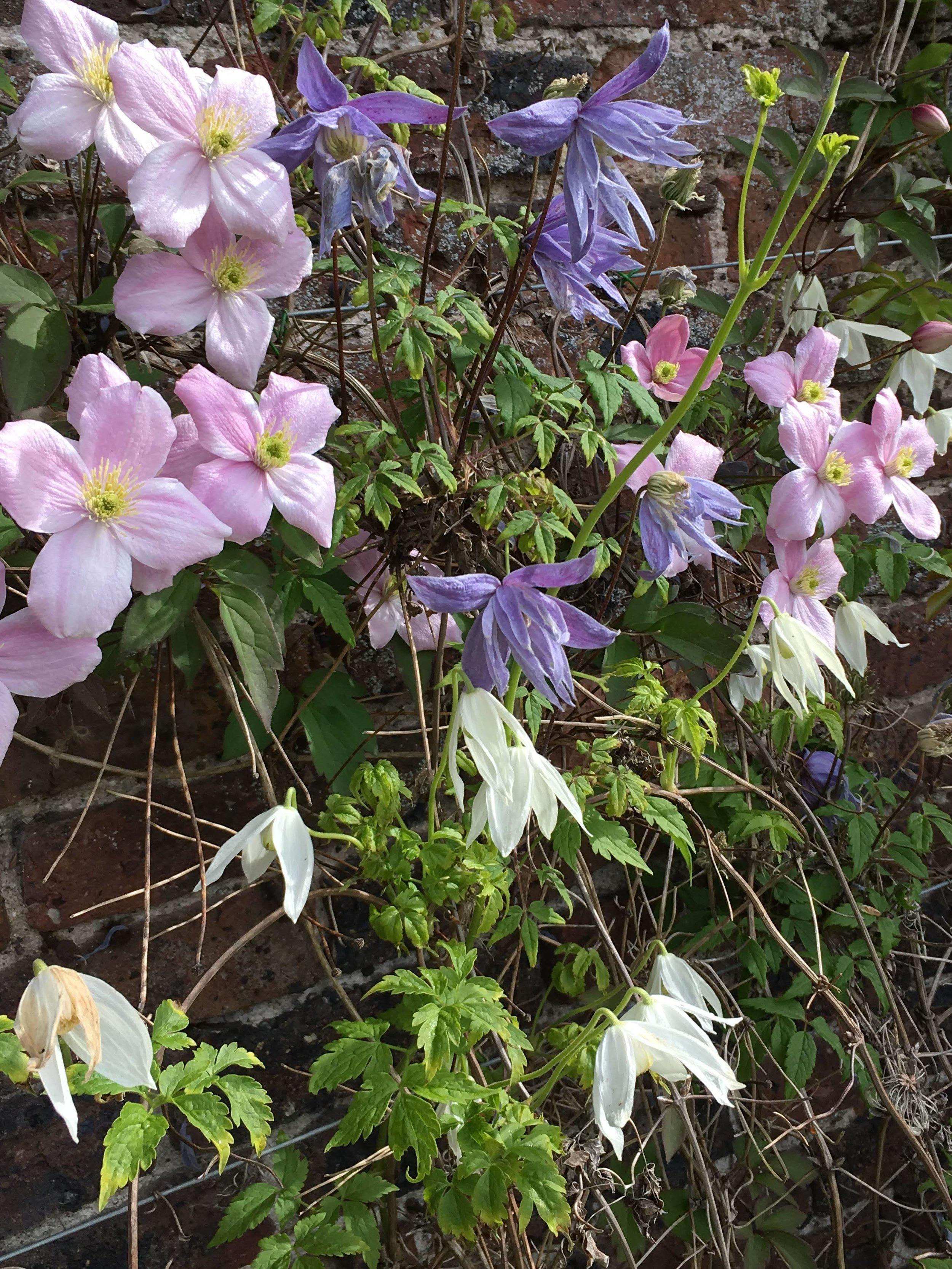 Clematis montana 'Elizabeth' 'Alpina Blue' & 'White Columbine'